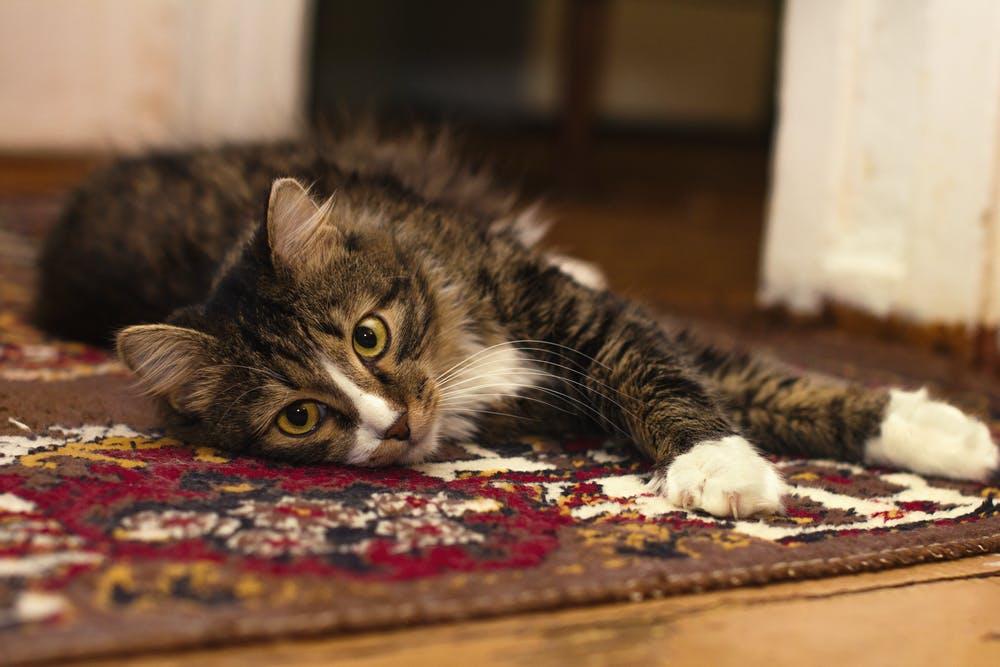 kočka koberec